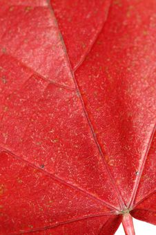 Free Red Maple Royalty Free Stock Photos - 17411428