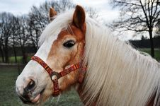 Free Brown Horse With Beautiful White Mane Royalty Free Stock Photos - 17414358