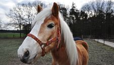 Free Brown Horse With Colorful Halter Royalty Free Stock Photo - 17414445