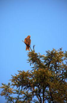 Free Wild Eagle Royalty Free Stock Photo - 17415165