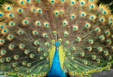 Free Peacock Stock Photography - 17415212
