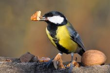 Free Great Tit With Nut In Bill. Stock Images - 17415414