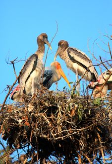 Free Painted Stork Family Royalty Free Stock Image - 17415986