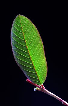 Free Guava Leaf Portrait Royalty Free Stock Images - 17416709