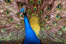 Free Peacock Royalty Free Stock Image - 17417456