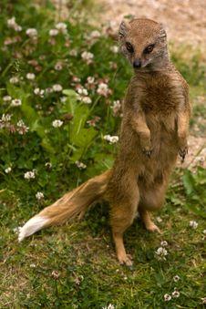 Free Yellow Mongoose Stock Photo - 17418000