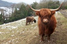 Free Highland Cow Looking At Camera Royalty Free Stock Photography - 17418137