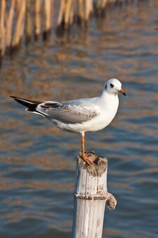 Free Seagull Bird Stock Image - 17419001