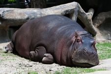 Free Hippo Stock Photography - 17419732