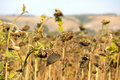 Free Sunflower Field Royalty Free Stock Photography - 17425127