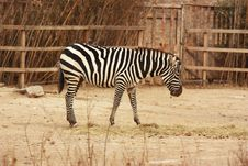 Free Zebra Stock Photography - 17420632