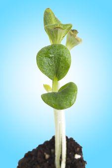 Seedling Pumpkin  Growing From Soil Royalty Free Stock Photos