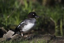 Free Tufted Duck Royalty Free Stock Photography - 17423337