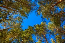 Free Coniferous Trees Royalty Free Stock Photography - 17423927