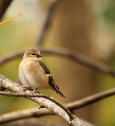 Free American Goldfinch, Carduelis Tristis Royalty Free Stock Images - 17425429
