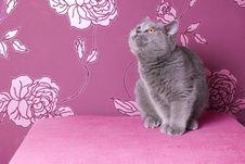 Free Blue British Shorthair Kitten Royalty Free Stock Photos - 17426318