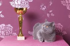 Free Champion Blue British Shorthair Stock Photos - 17426383