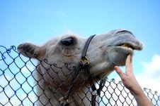 Free Camel Royalty Free Stock Photos - 17426588