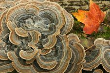 Free Fungus And Maple Leaf On A Log Stock Photography - 17427342