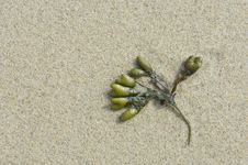 Free Alga In The Sand Royalty Free Stock Images - 17428299