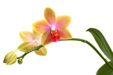 Free Yellow Orchid Phalaenopsis Stock Images - 17429894