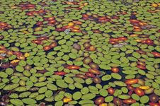 Free Lily Pad Carpet Royalty Free Stock Photo - 17430975