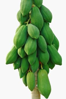 Free The Papaya Tree On A White Background. Stock Photography - 17431142