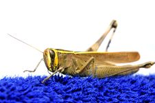 Free Common Locust Stock Photos - 17431573