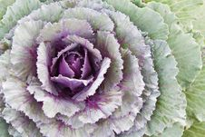 Free Ornamental Cabbage Royalty Free Stock Photos - 17431638
