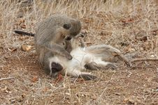 Free Vervet Monkeys Grooming Royalty Free Stock Photos - 17431818