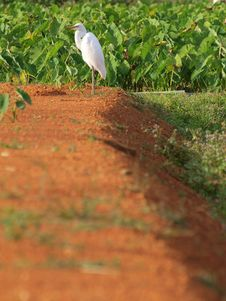 Free White Egret Standing In The Afternoon Sun Stock Photography - 17432662