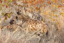 Free Spotted Hyaenas On Alert Royalty Free Stock Photo - 17432885