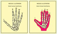 Free Skeletal Hand Royalty Free Stock Photo - 17433765