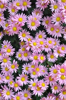 Light Purple Chrysanthemum Background Stock Photos