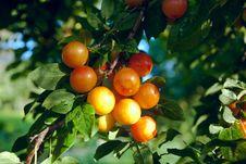 Free Orange Plumbs Royalty Free Stock Photography - 17434017