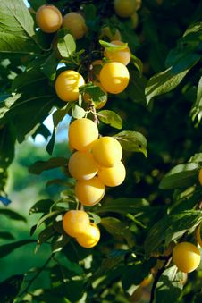 Free A Group Of Yellow Plums Royalty Free Stock Images - 17434049