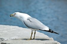 Free Screeching Ring-billed Gull On A Rock Royalty Free Stock Photos - 17436008