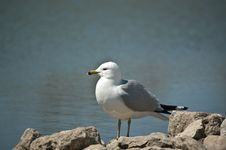 Free Ring-billed Gull Standing On A Rock Royalty Free Stock Photos - 17436048