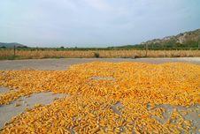 Free Corn On The Ground Royalty Free Stock Photos - 17436208