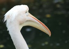 Free Pelican Head Stock Images - 17437234