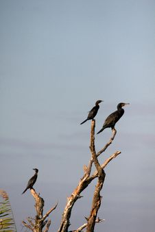 Free Cormorant In The Danube Delta, Romania Royalty Free Stock Photos - 17438718