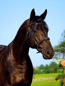 Free The Beautiful Black Horse Royalty Free Stock Image - 17438736