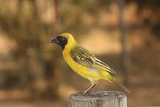 Free Village Weaver Royalty Free Stock Photo - 17440855