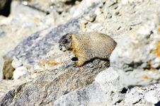 Free Yellow Bellied Marmot Stock Photos - 17443173