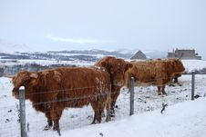 Cattle At Ruthven Stock Photos