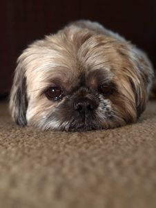 Cute Shih Tzu Stock Photography