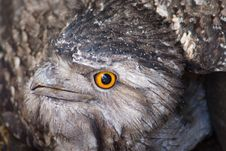 Free Tawny Frog Mouth Royalty Free Stock Image - 17446426