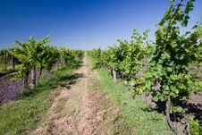 Free Vineyard Stock Image - 17446681