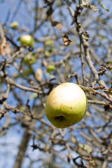 Free Apple Tree Stock Images - 17448394