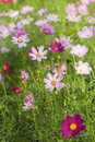 Free Cosmos Flowers Royalty Free Stock Images - 17451119